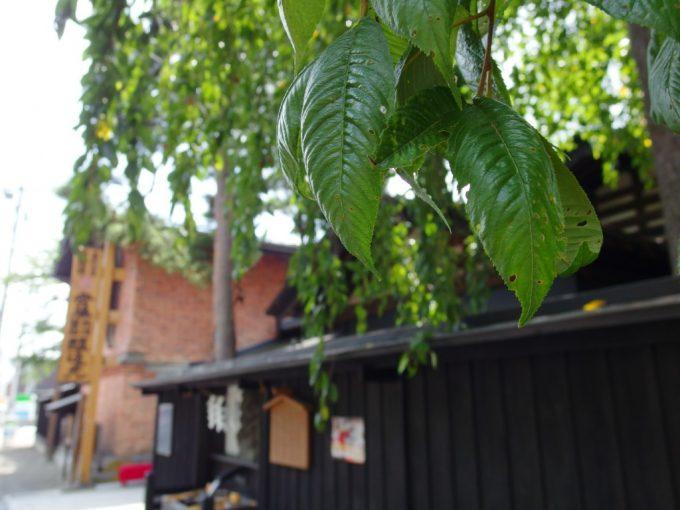 夏の角館安藤醸造枝垂れ桜と黒塀、レンガ蔵