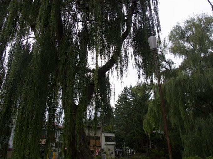 盛岡秋の夕暮れ時の柳