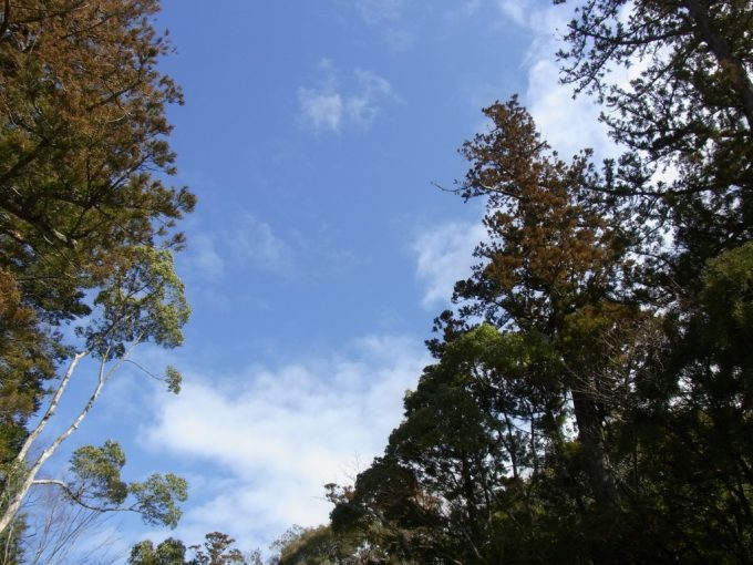 冬の伊勢神宮内宮参道の木々と冬晴れの空