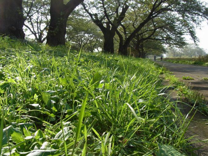 朝露に光る雑草