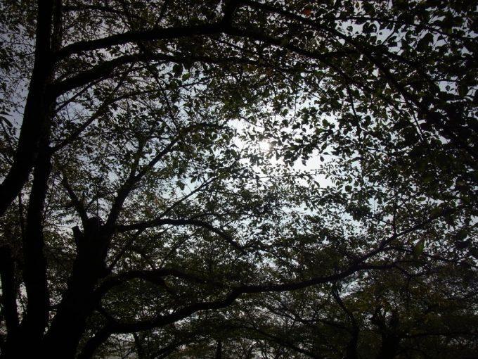 桜の葉のレースを透かす秋の日