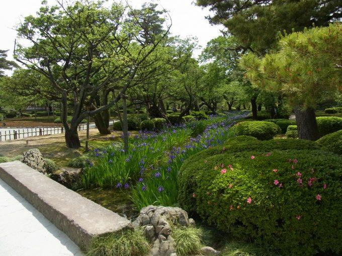 初夏の金沢兼六園曲水に咲き乱れるカキツバタ