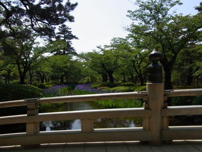 初夏の金沢兼六園美しく咲くカキツバタ