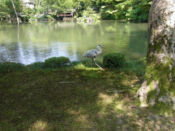 金沢兼六園食後の鷺