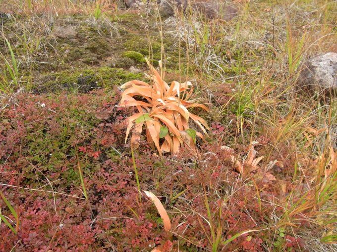 秋の八幡平色づく草紅葉