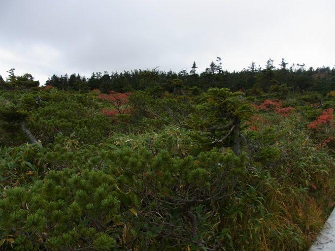 秋の八幡平低い木々が形成する森