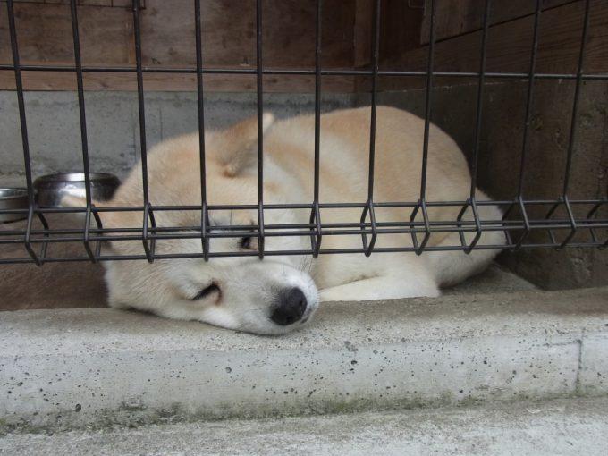 田沢湖共栄パレスすやすや眠る秋田犬