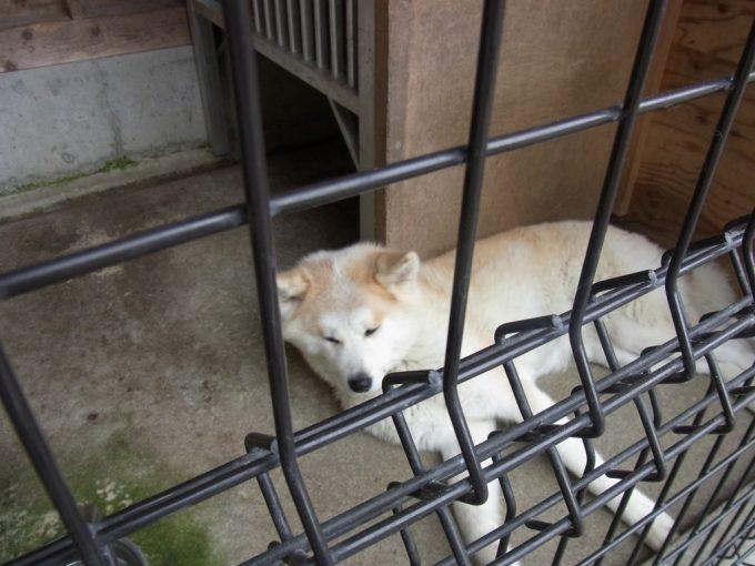 田沢湖共栄パレスおねむの秋田犬