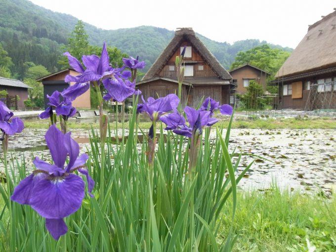 初夏の白川郷紫のあやめと合掌造りの競演