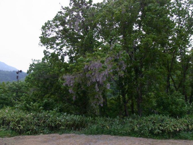 初夏の白川郷夕暮れの藤の花