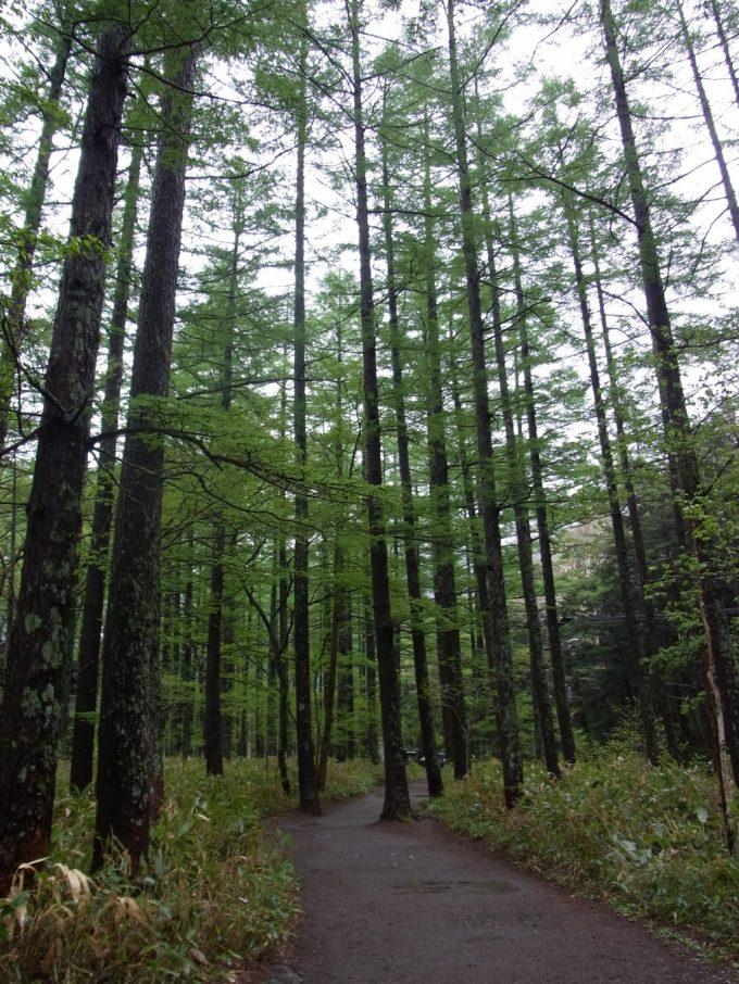 初の上高地雨に濡れる新緑の木々