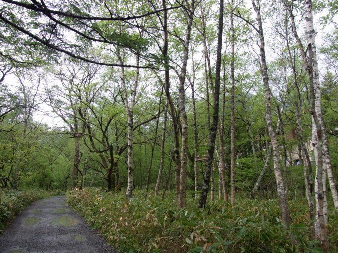 初夏の上高地雨の白樺林