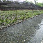 信州安曇野大王わさび農場清冽な水が流れるわさび田