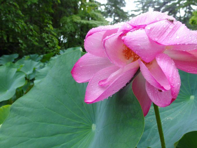 雨粒がきらめく蓮の花