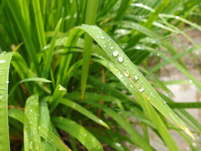 雨上がりの太陽に輝く雨だれ