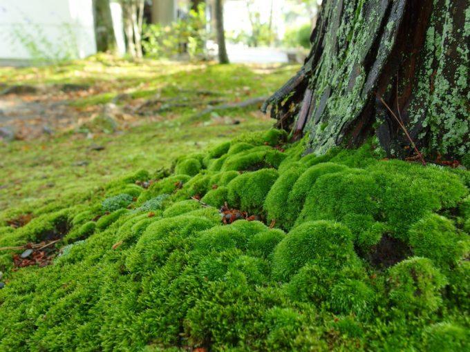 水を得て活き活きとする苔