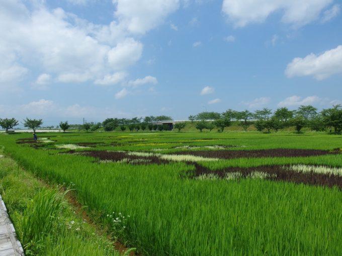 田んぼアートさまざまな色の稲