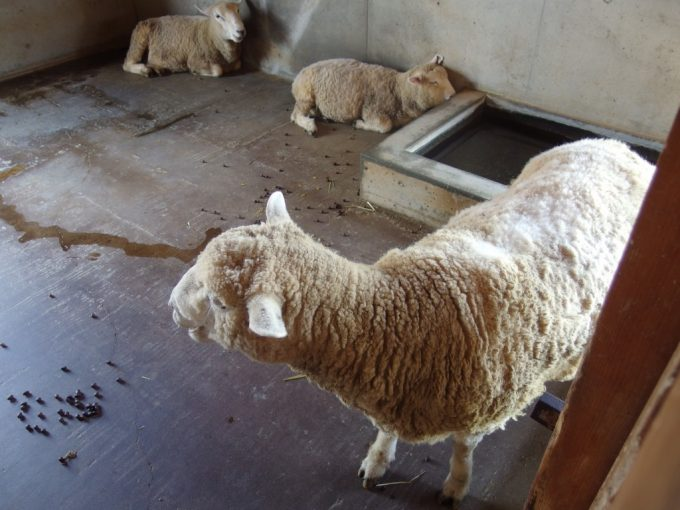 道の駅いなかだて弥生の里畜舎の中の暑そうな羊たち