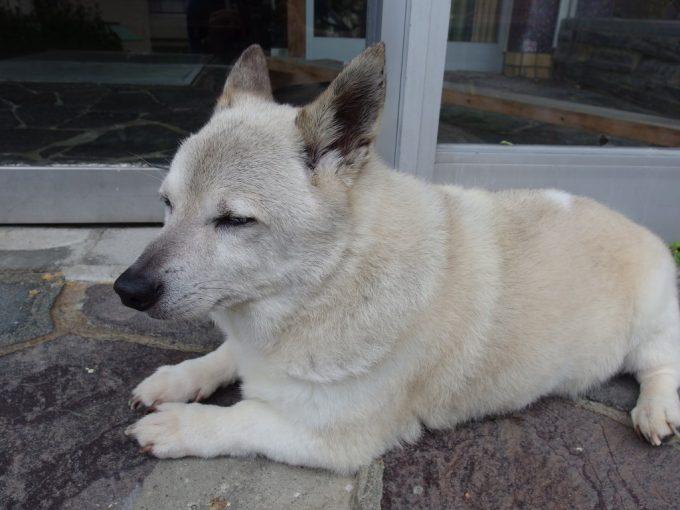 瀬見温泉喜至楼看板犬の可愛い白いわんこ