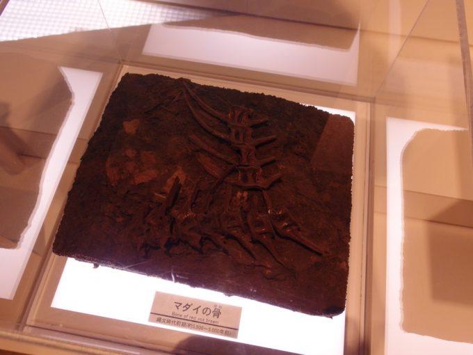 三内丸山遺跡さんまるミュージアム昔から食べられていた真鯛の骨