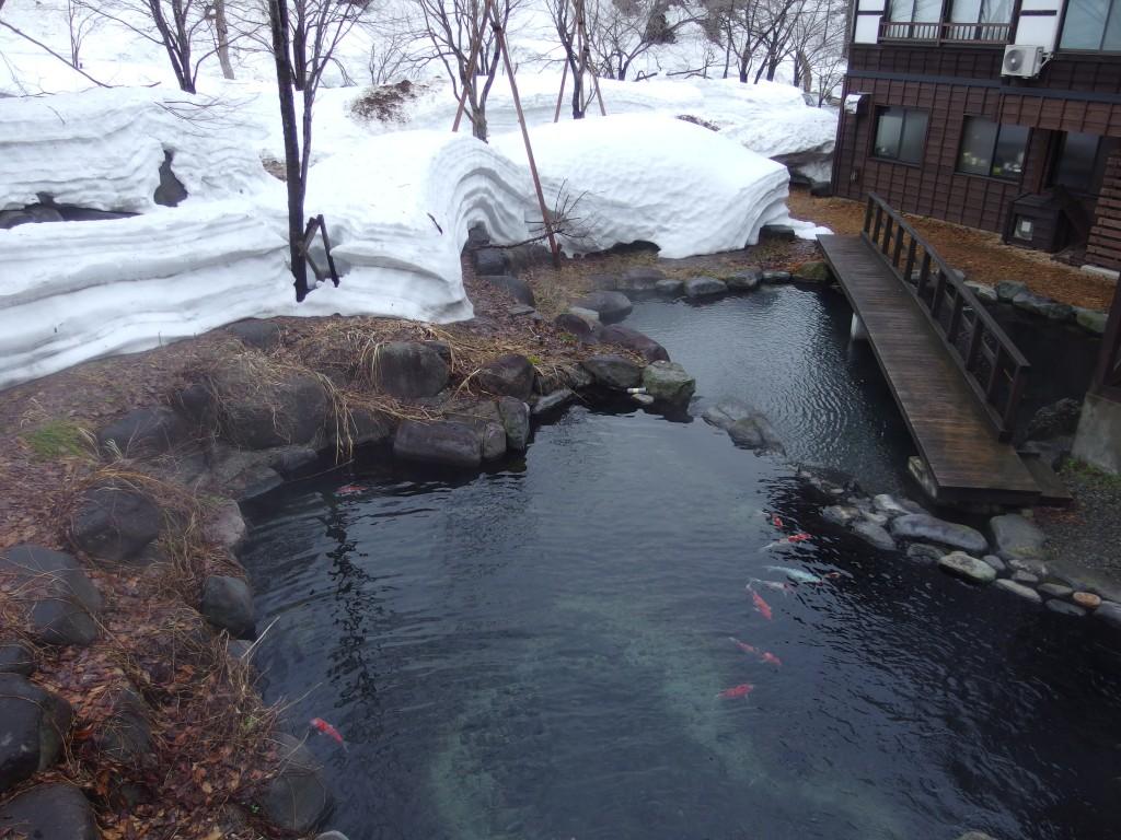 雪解けの奥湯沢目の湯貝掛温泉池を泳ぐ錦鯉