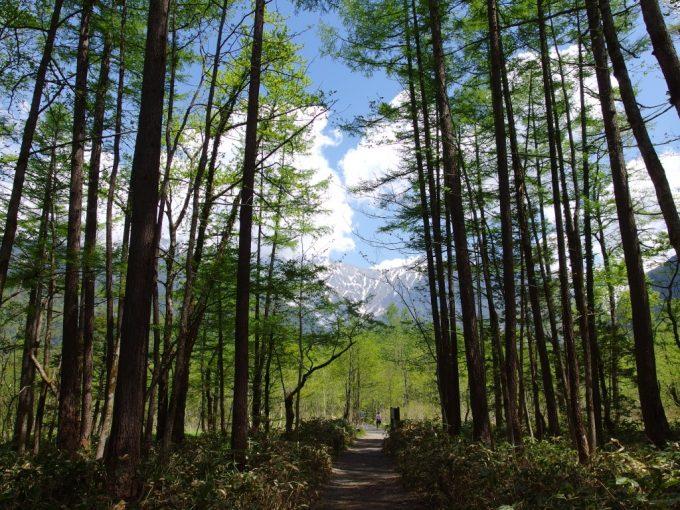 初夏の上高地新緑の木立を穂高岳見据えて歩く