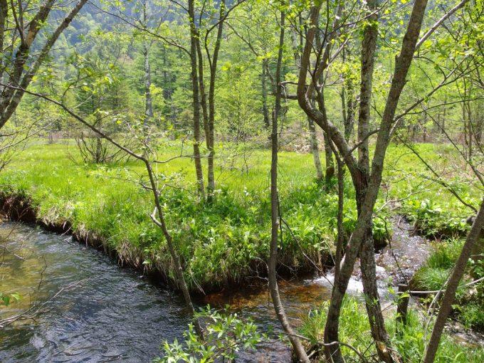 初夏の上高地豊かな湧き水と新緑の鮮やかさ