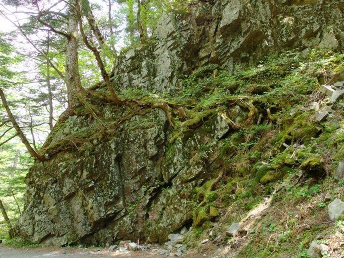 初夏の上高地岩盤に根を下ろす逞しい木々