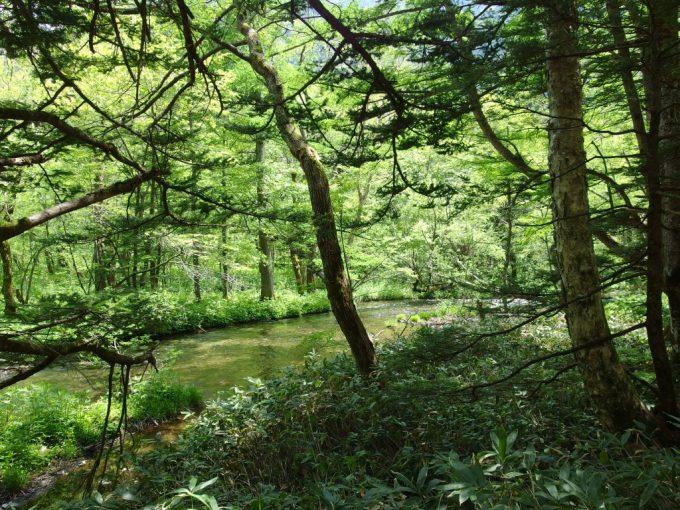 新緑に埋め尽くされる初夏の上高地ハイキングコース