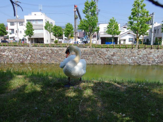 初夏の国宝松本城お堀に住む白鳥