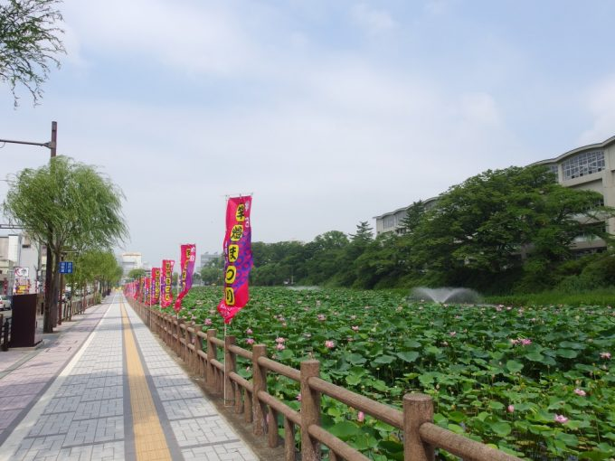 秋田久保田城址お堀を彩る夏の蓮の葉