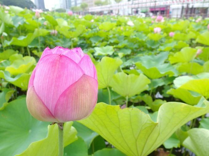 秋田久保田城址千秋公園お堀に咲く可憐な蓮の花