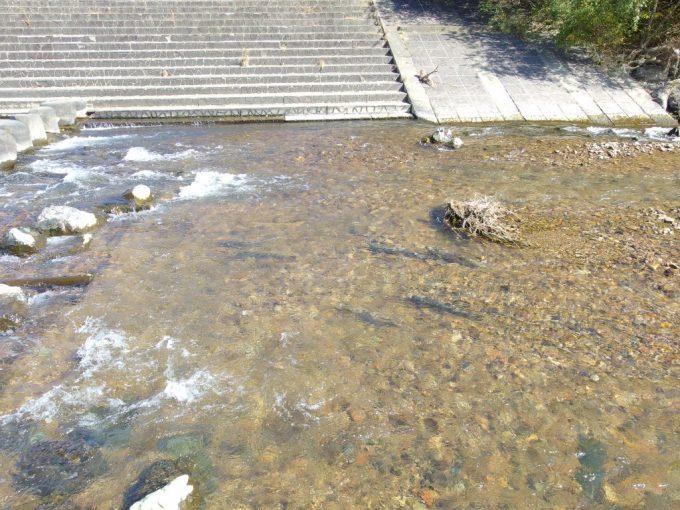 北上川支流へと遡上する鮭