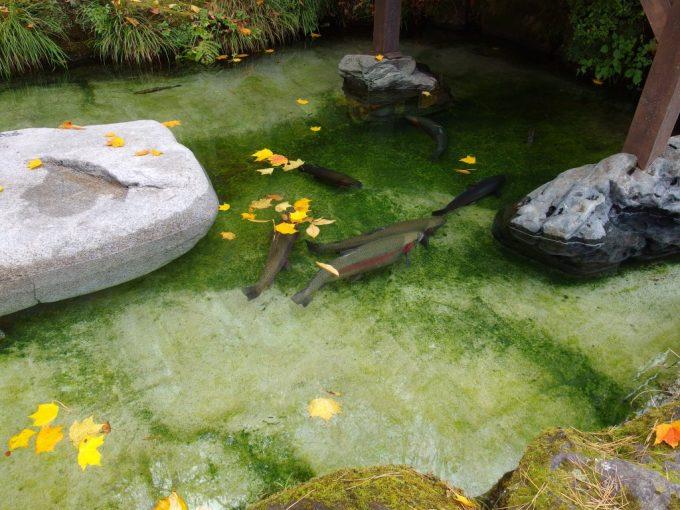 秋の龍泉洞澄んだ池を泳ぐ鱒