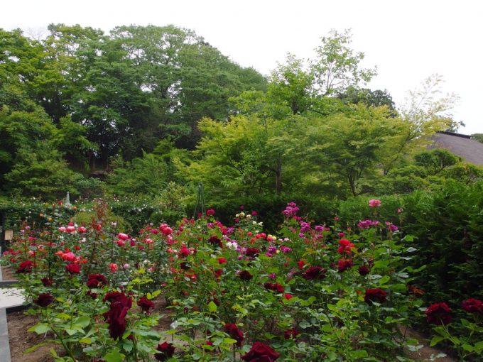 バラ寺としても有名な東北の霊場松島円通院