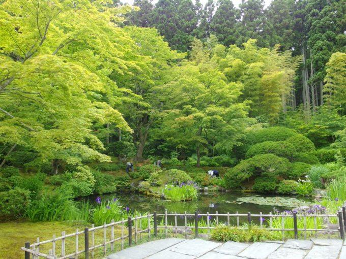 新緑の松島円通院池に咲く花菖蒲