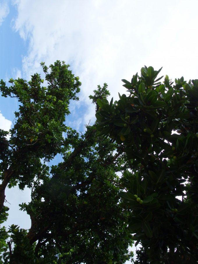 竹富島の実の成ったオリーブの木