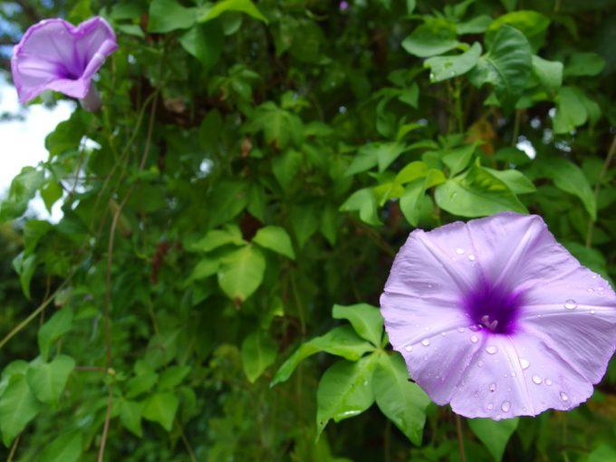 竹富島の朝顔にも似た薄紫の花