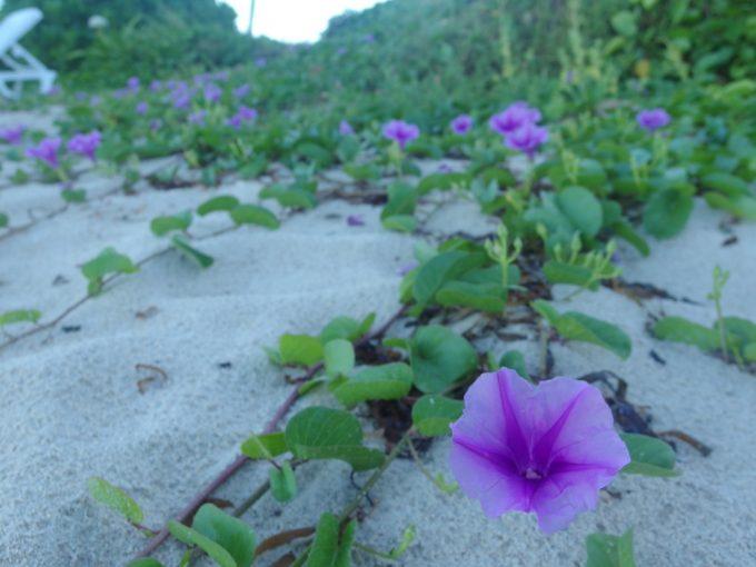 底地ビーチの白い砂浜を彩る朝顔のような花