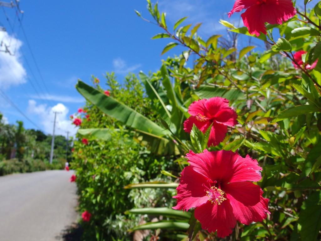 夏の石垣島抜けるような青空に咲く鮮やかなハイビスカス