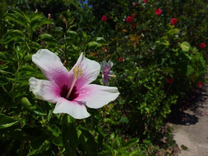 石垣島を彩る可憐なハイビスカスの花