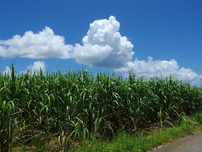 夏空に勢いよく茂る石垣島のさとうきび畑