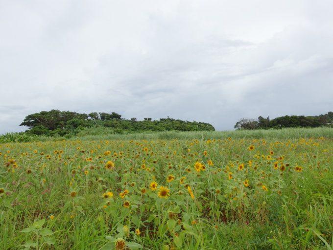 石垣島に咲くたくさんのひまわり