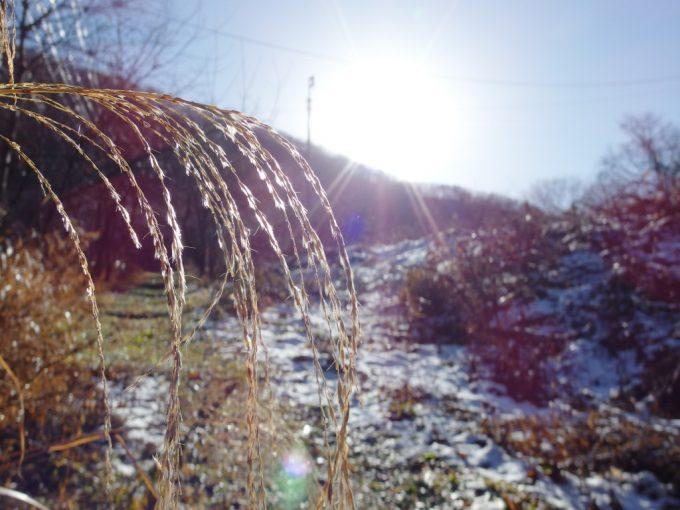 雪とすすきを照らす朝日、晩秋ならではの光景