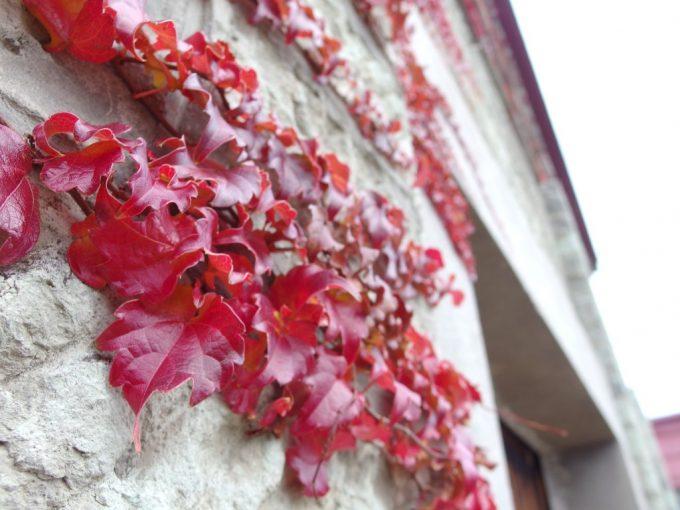 喜多方JAファーマーズマーケットいいでの四季駅前店重厚な石造りの蔵を彩る蔦の紅葉