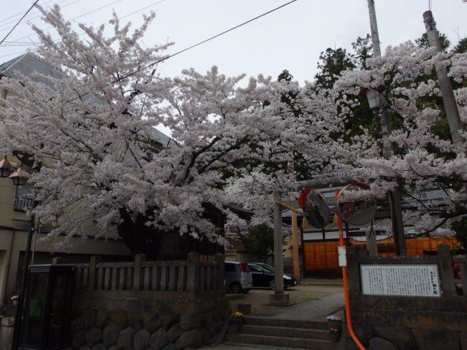 湯田中の神社を彩る立派な桜