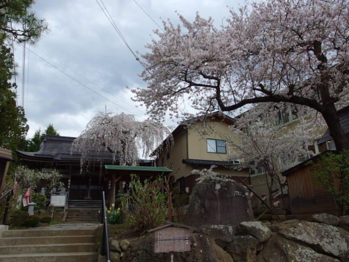 湯田中のお寺を彩る枝垂れ桜