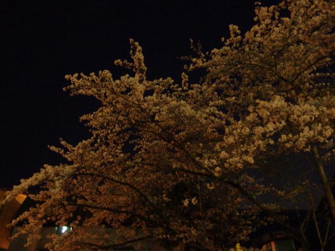 春の渋温泉満開の夜桜