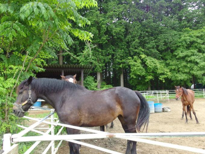 西那須野ホウライ千本松牧場のんびり佇む馬