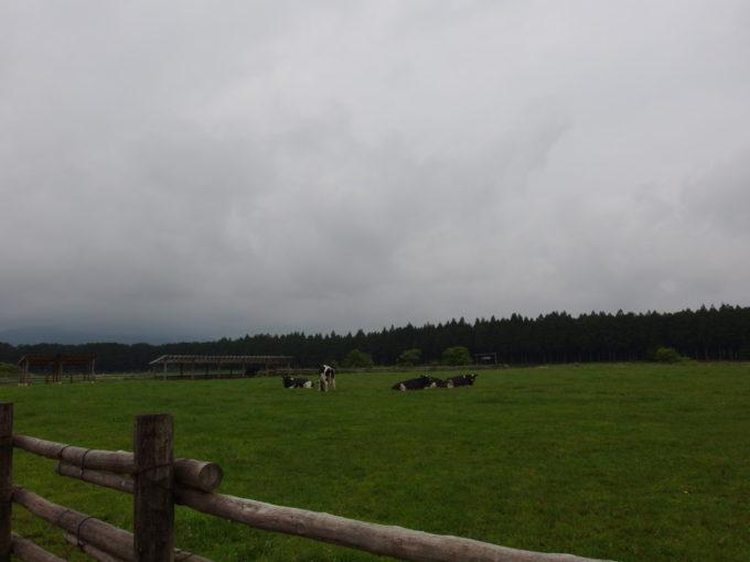 西那須野ホウライ千本松牧場広大な牧草地に放牧される牛
